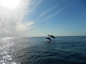 Nager dauphins Açores