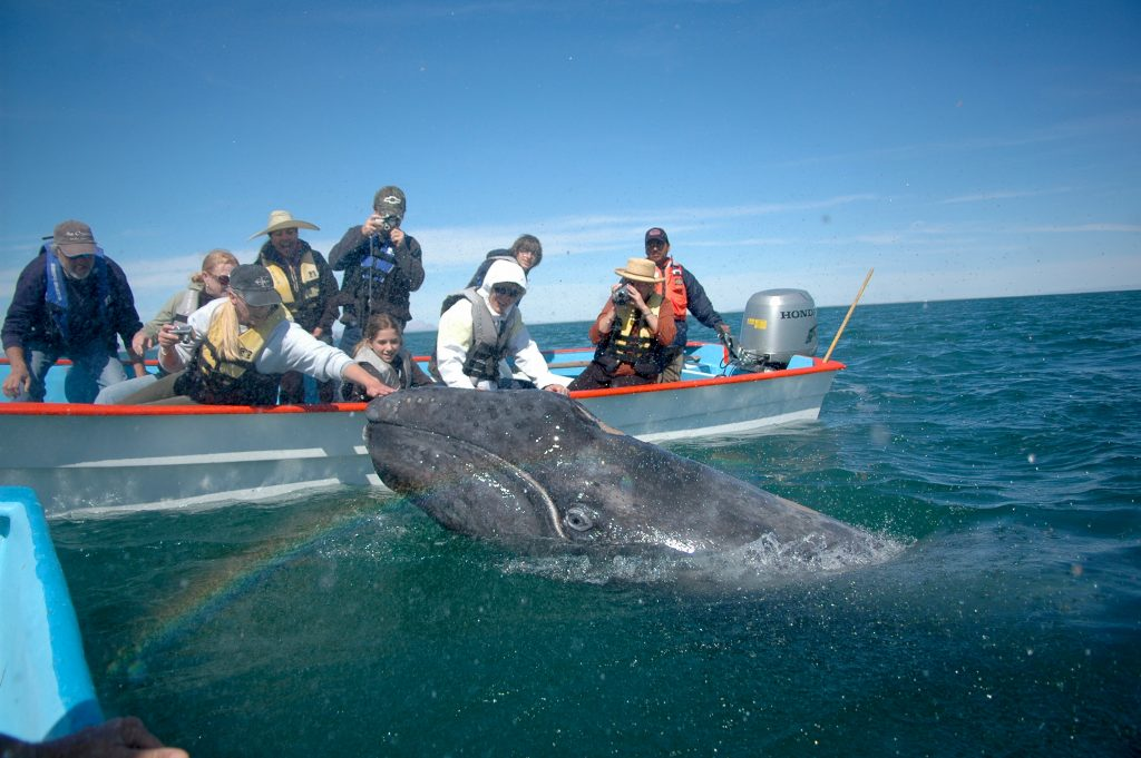 rencontre baleine grise
